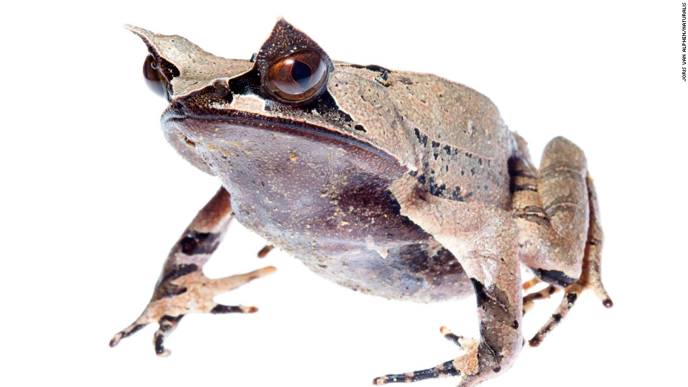 At 13,435 feet, Kinabalu is the largest mountain in the Malay Archipelago and is home to the Malaysian horn frog.