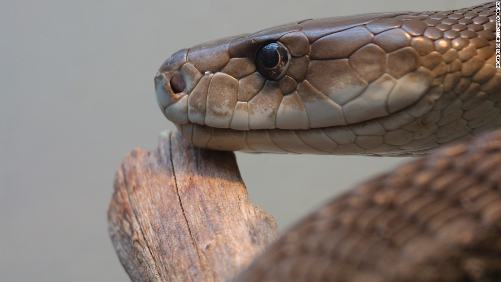 Commonly found on the east coast of Africa, the mamba has a bite that can kill humans within a day with venom that attacks the heart and nervous system.
