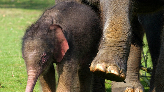 A two week old Asian elephant makes her first public appearance at Whipsnade Wild Animal Park, England, on March 30, 2004.