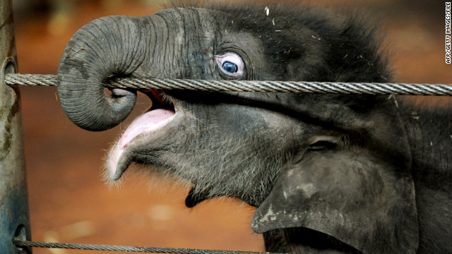 Pathi Harn wraps his trunk around a wire at Taronga Zoo in March 2010.