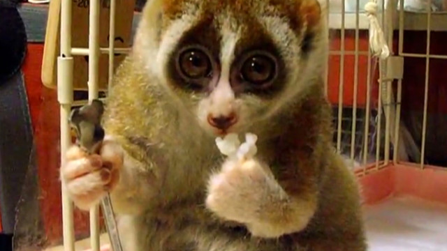 orig jtb distractrion slow loris rice ball_00002404