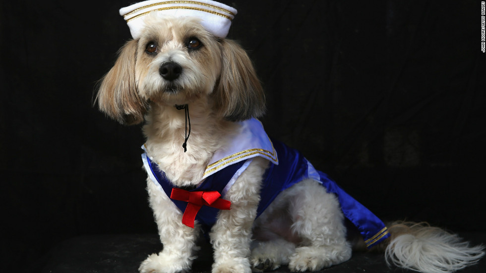 Lola, a coton breed, poses as sailor at the Tompkins Square Halloween Dog Parade on October 20, 2012 in New York City.