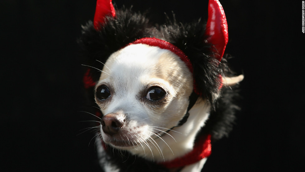 Pants, a Chihuahua, poses as a devil at the Tompkins Square Halloween Dog Parade on October 20, 2012 in New York City.