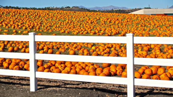 "Jennifer L. Schwartz noticed this pumpkin patch when driving around the Pomona campus in California. She syas that the pumpkins didn't grow there -- they simply appeared t one day, having been brought in for a local pumpkin festival. ""It was so unusual I went back in the afternoon just to take the photos,"" she said."