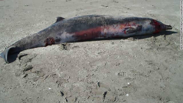 The male spade-toothed beaked whale that washed up on a New Zealand beach in 2010.