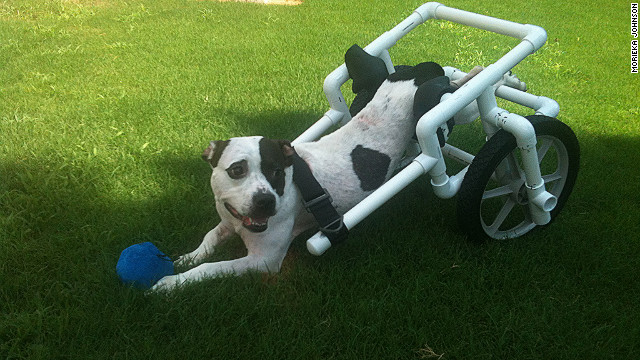 Hope in her wheelchair. Now that she has her mobility back, she's looking for a forever home.