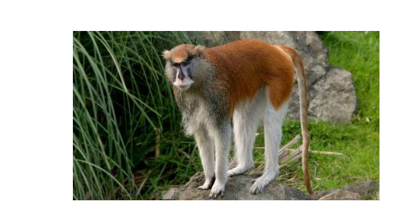 Police and zoo employees found a patas monkey that was seriously injured at Zoo Boise on Saturday. The monkey died.