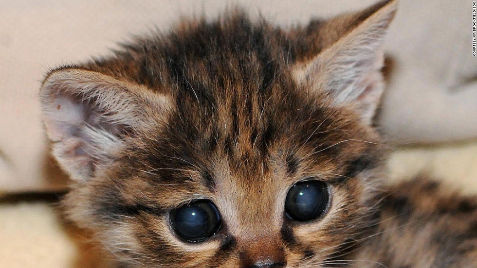 Karoo, the baby blackfooted cat at the Brookfield Zoo, is the smallest African feline species.