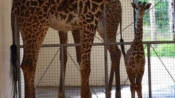 Lulu, the baby girl giraffe at the Cincinnati Zoo, has a Twitter following.