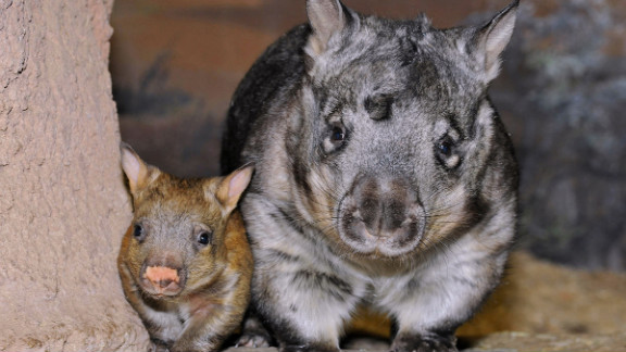 The baby girl wombat at the Brookfield Zoo is mama Kambora's fourth child.
