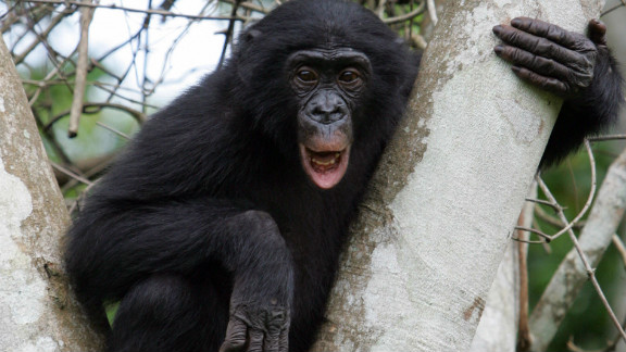 """Also called """"pygmy chimpanzees,"""" bonobos feed mainly in trees."""