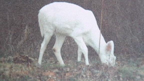 dnt in albino deer illegal hunting_00002521