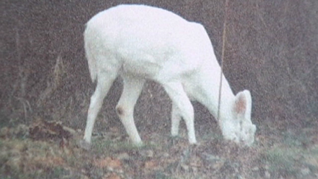 Albino deer killed illegally