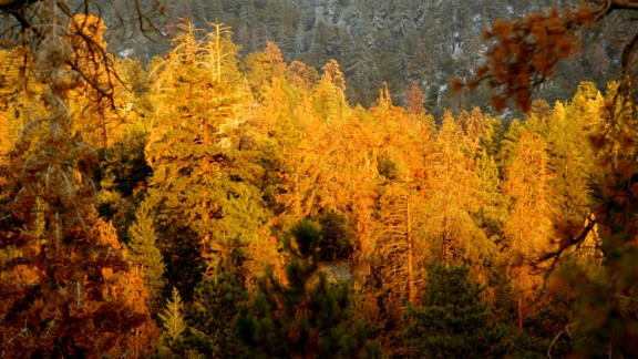 An area of forest in California killed off by pine beetles in 2003.
