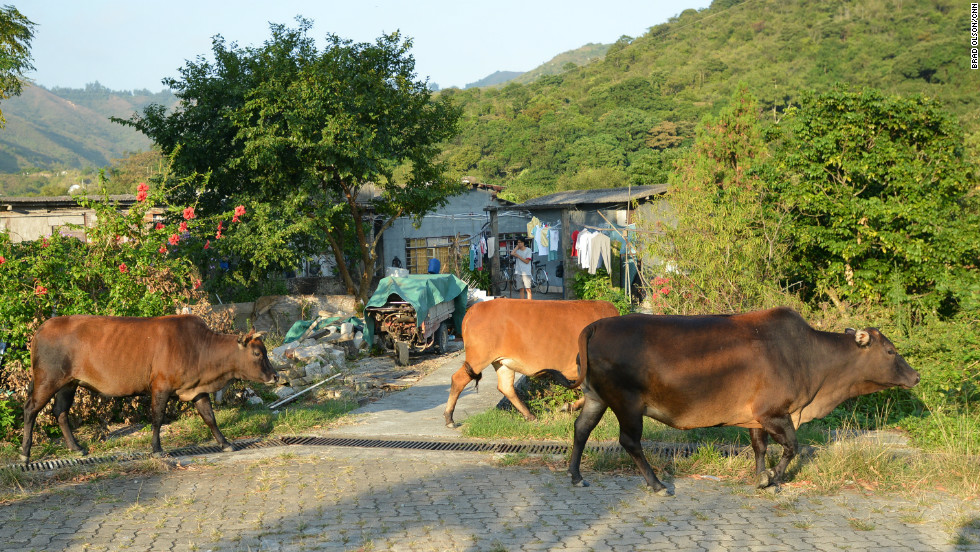 Once highly valued, cows are now considered a nuisance by many locals who complain they are unhygienic and reduce property values. They often get into vegetable gardens and cause damage.