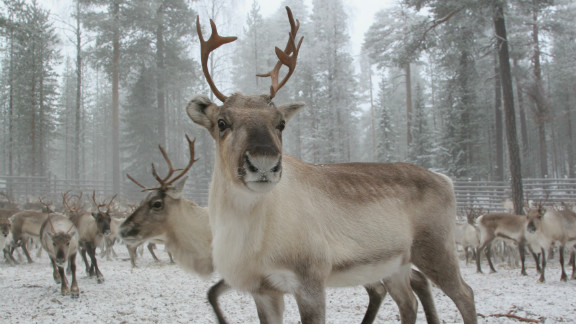 Other attractions in the very north of Finland include the Ranua Zoo, home to baby polar bears, wolverines, and moose and the Sirmakko reindeer farm, where visitors can take a sled-led reindeer safari.