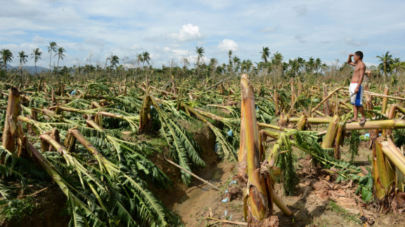 A worker surveys destroyed banana trees at a plantation in Montevista, Compostela Valley, on December 5.