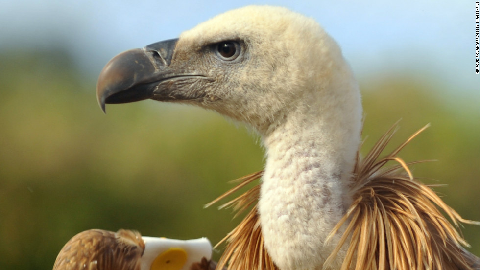 Sudanese officials say a GPS-tagged vulture captured in the western part of the country was transmitting photos back to Israel.