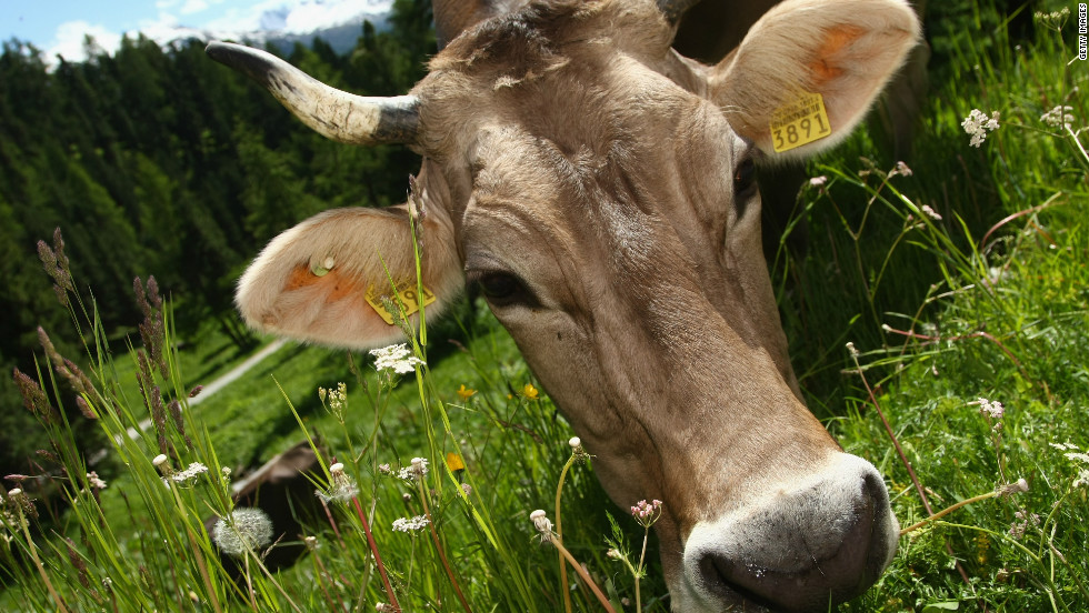 """We might look at cows in the future,"" Professor Gordon Blair of Lancaster University told CNN."