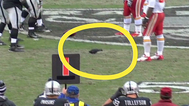 Pigeon refuses to leave football game