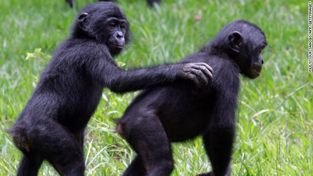 Study Bonobos Talk Like Our Babies Do Cnn