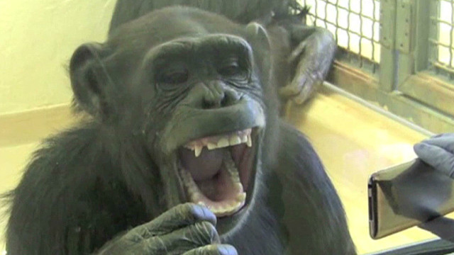 Yawning chimps, they're just like us