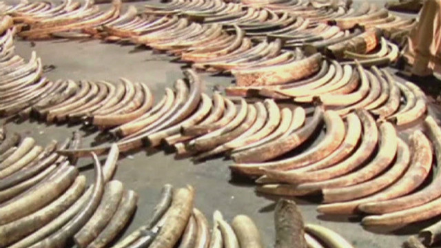 Undercover look at illegal ivory traders