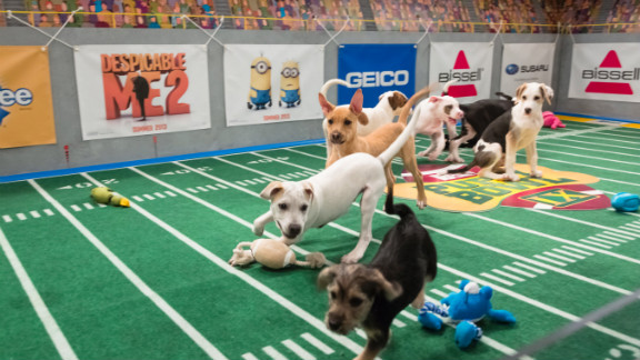 Gunter, a white pit bull/hound mix, center, chases Marta, a schnauzer/beagle mix, front, down the field as Biscuit, a Puerto Rican sato looks on.