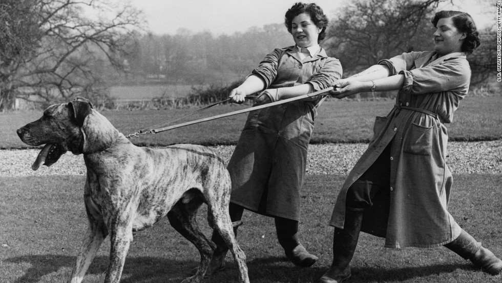 "Far from an awkward Marmaduke, the <a href=""http://www.westminsterkennelclub.org/breedinformation/working/grdane.html"" target=""_blank"">Great Dane</a> breed was developed in Germany to hunt wild boar. In fact, this dog was called the ""Boar Hound"" when introduced to America in the late 1800s."