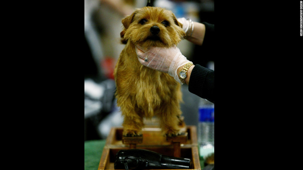 "The <a href=""http://www.westminsterkennelclub.org/breedinformation/terrier/norfolk.html"" target=""_blank"">Norfolk Terrier</a> was bred specifically for Cambridge University students in the 1800s and 1900s, as they had a great need to rid their dorms of rats."