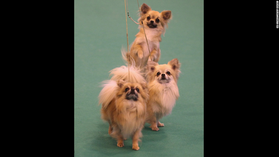"These tiny dogs with mysterious origins (people speculate <a href=""http://www.westminsterkennelclub.org/breedinformation/toy/chihua.html"" target=""_blank"">Chihuahuas</a> were developed by Aztecs, ancient Egyptians, the Sudanese or perhaps in Malta) have been used for religious sacrifice, eaten by conquistadors and used to guide their dead owners' souls to the hereafter."