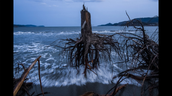 Third prize -- general news stories:  Pine trees uprooted during the 2011 tsunami lie on the beach in Rikuzentakata, Japan, on March 7, 2012.