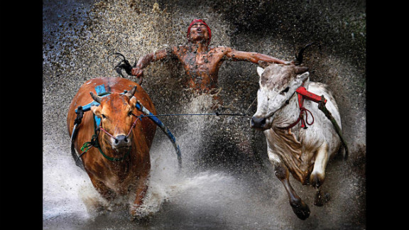 First prize sports -- sports action single: An Indonesian jockey, his feet in a harness strapped to bulls and clutching their tails, appears joyous at the end of a dangerous run across rice fields as part of the Pacu Jawi bull race on February 12, 2012,  in West Sumatra. The bull race is a popular competition between villages at the end of harvest season.