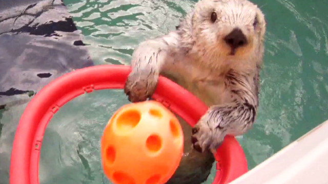 Watch sea otter dunk basketball