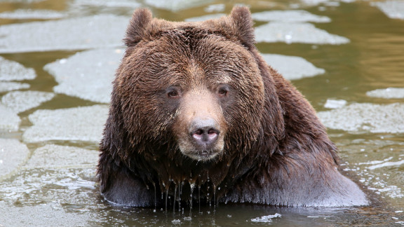 Swedish brown bear, similar to the one killed in Switzerland, in Guestrow, eastern Germany,  February 01, 2013.