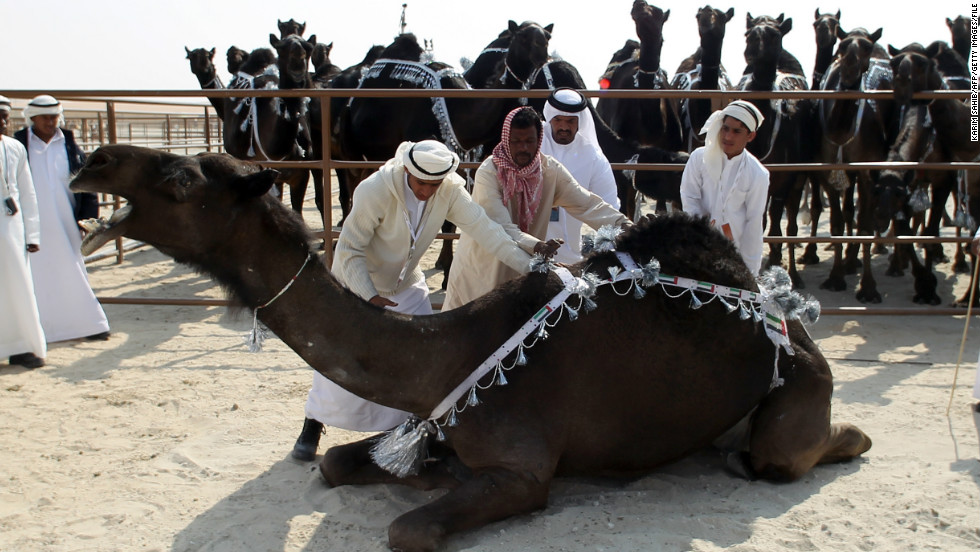 Men prepare a dark-brown majaheem camel for exhibition while its fellow competitors look on. The animals are rated according to criteria including firmness of ear, straightness of leg, the size of their toe cleft and neck length.