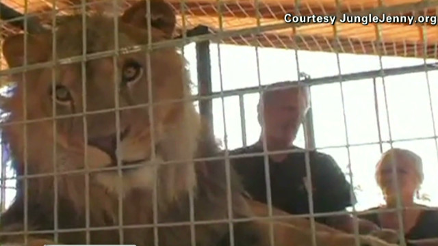 Exclusive video of lion that attacked
