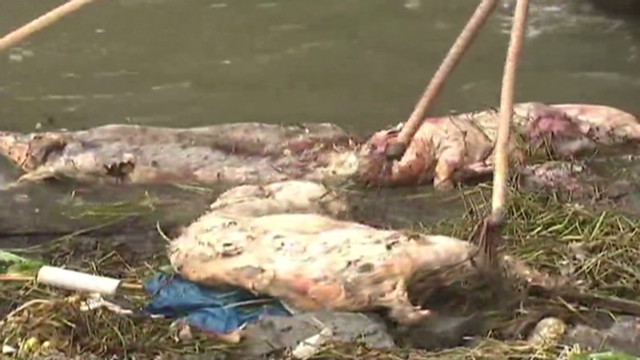 Dead pigs found floating in river