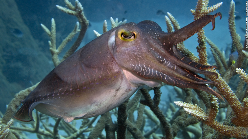 Large cuttlefish in the Ribbon Reef.