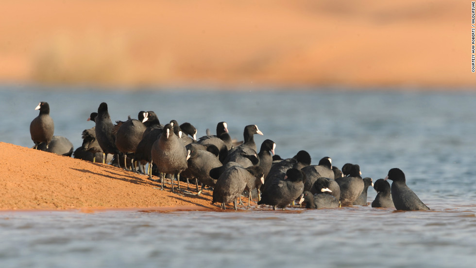 A flock of coots take to the water of Lake Zakher in the remote deserts of the UAE.