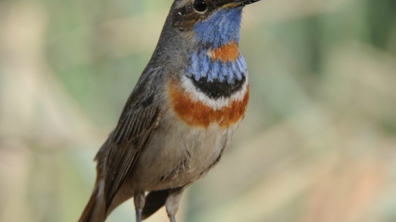 The red spotted bluethroat stands out from the crowd.