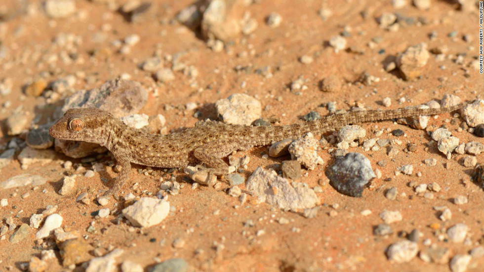 The Baluch ground gecko, on the other hand, blends in to its surroundings.