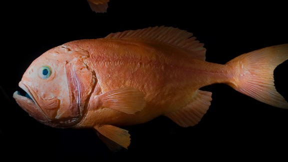 Bottom-trawling's knock-on impacts are best illustrated by the plight of the deep-sea fish, the orange roughy (also known as slimeheads). Populations have been reduced by more than 90%, according to marine scientists.