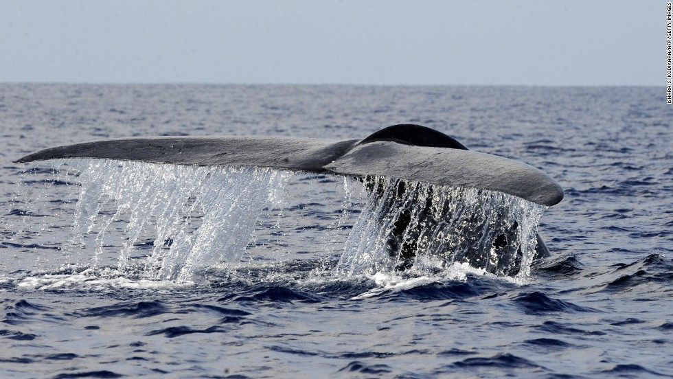 Oceans are home to 90% of the living volume of the planet and contain more than one million species, ranging from the largest animal on the planet -- the blue whale (pictured) -- to one of the weirdest -- the blobfish.<br />