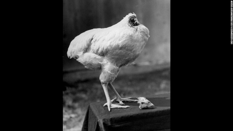 "A rooster named Mike lived for 18 months after losing his head in 1945 at a farm in Fruita, Colorado. According to some accounts, the day the ax fell Mike slept with his head under his wing. The story originally ran in an October 1945 issue of Life magazine. <a href=""http://life.time.com/curiosities/photos-mike-the-headless-chicken-beyond-belief/#1"" target=""_blank"">View more photos and read the stranger-than-fiction story at Life.com</a>."