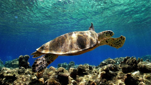 Upwards of one million sea turtles were estimated to have been killed as bycatch during the period 1990-2008, according to a report published in Conservation Letters in 2010, and many of the species are on the IUCN's list of threatened species.
