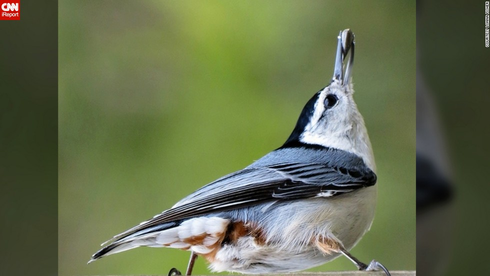 "As the earth shakes off the cold, wild creatures bound with new vitality. <a href=""http://ireport.cnn.com/docs/DOC-945407"">Lonna Fisher</a> patiently waited in front of her Rough Rum, West Virginia, home to photograph this nuthatch snacking on a sunflower seed."