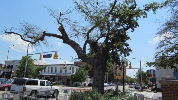 A tree at Toomer's Corner in Auburn, Alabama.