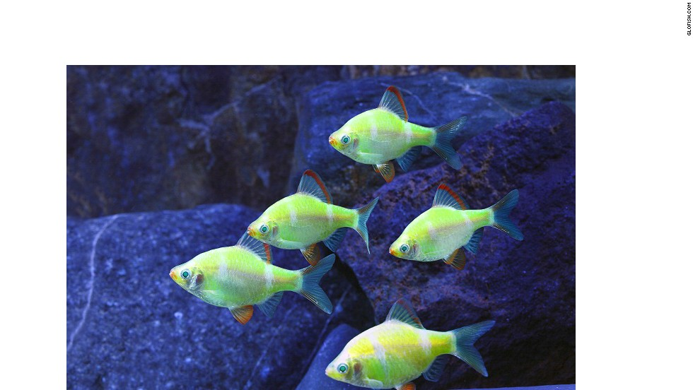 "Advances in biotechnology allow scientists to modify animals in ways that nature did not intend. <a href=""http://www.glofish.com/"" target=""_blank"">GloFish</a> carry a fluorescence gene that makes them ""glow"" under a black light in a darkened room."