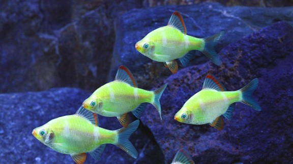 "Advances in biotechnology allow scientists to modify animals in ways that nature did not intend. GloFish carry a fluorescence gene that makes them ""glow"" under a black light in a darkened room."